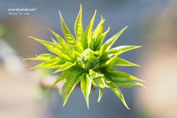 アメリカフウの芽吹き