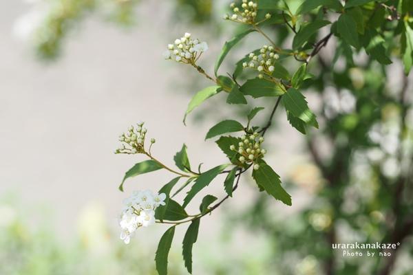 コデマリの花が風にゆれる