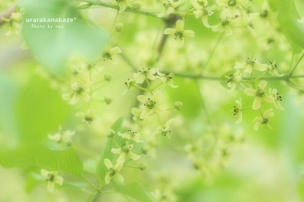マユミの木の花