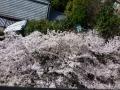 マンションの桜1