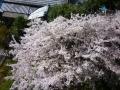 マンションの桜2