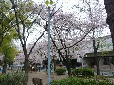 カフェ・ド・シャンパーニュ桜1