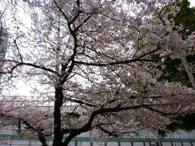 カフェ・ド・シャンパーニュ桜2