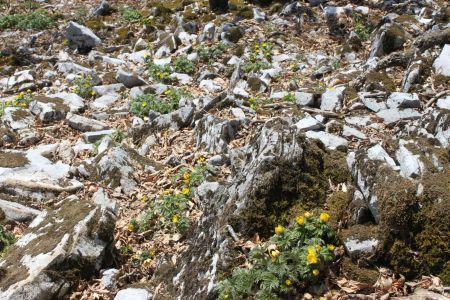 石灰岩とフクジュソウ