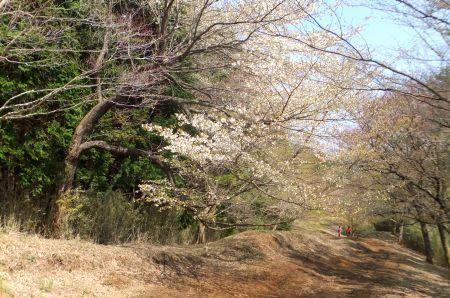 桜咲く尾根