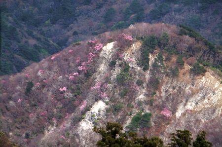 アカヤシオが点在する斜面