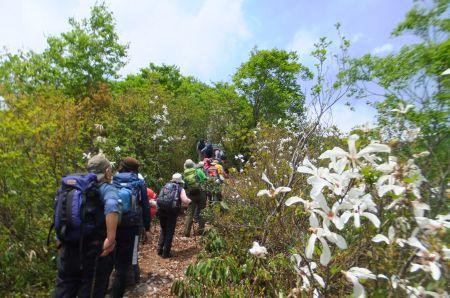 タムシバの咲く登山道
