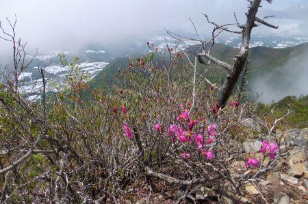 トウゴクミツバツツジ花