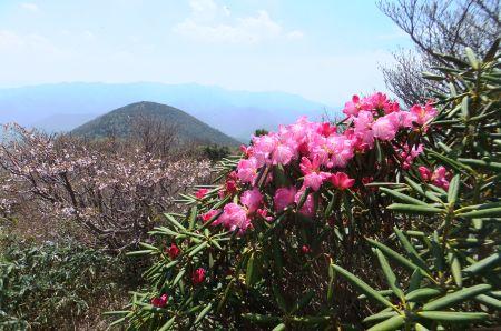 アズマシャクナゲと白笹山