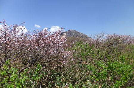 ミネザクラと茶臼岳
