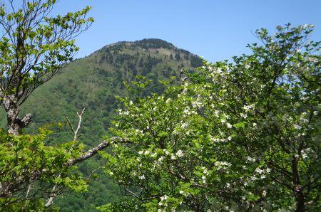 シロヤシオと前黒山