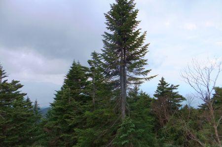 オオシラビソの森