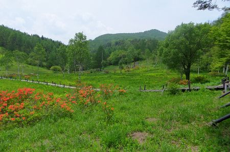 湿原のレンゲツツジ