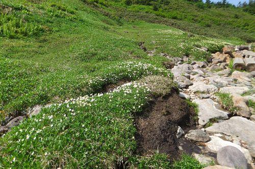チングルマのお花畑