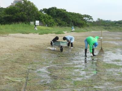 干潟のアオサの清掃