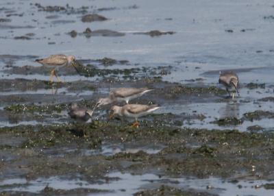 キアシシギとソリハシシギ(雁ノ巣海岸)
