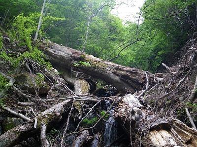 大木が倒れてる