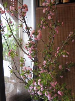 桜まつり2014-4