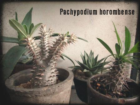 パキポhoron