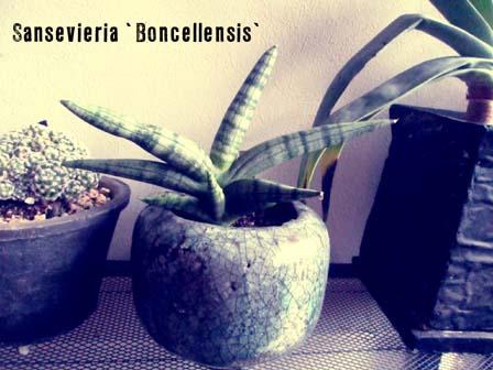 サンセベリア・ボンセレンシス