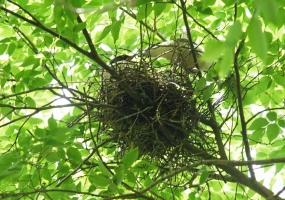 155オナガ巣の中餌運び