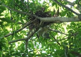 155オナガ巣作り