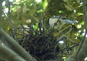156カラスの巣を乗っ取るオナ