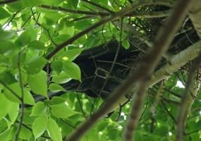 156オナガの巣を襲うカラス