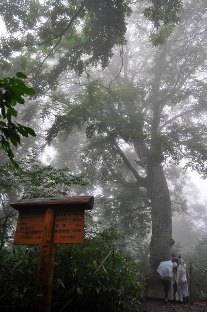 白神山地 マザーツリー