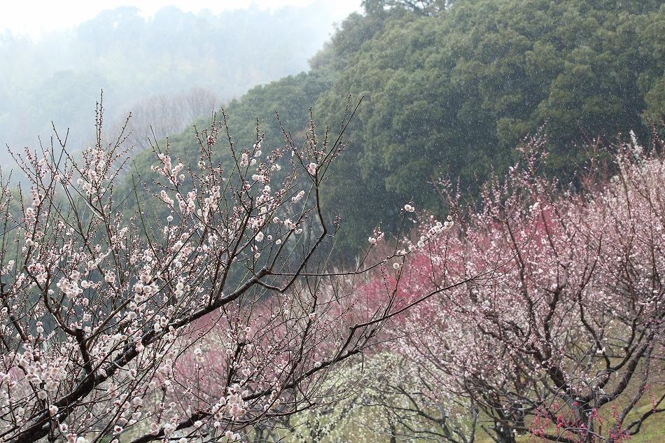 赤塚山の梅っつーか鳥15