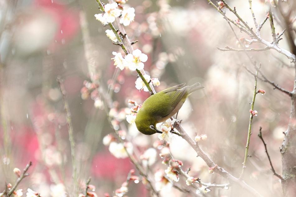赤塚山の梅っつーか鳥14