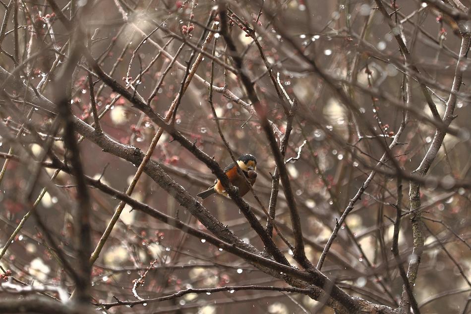 赤塚山の梅っつーか鳥13