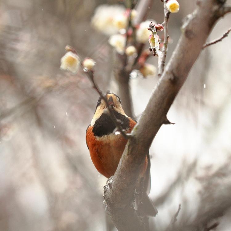 赤塚山の梅っつーか鳥11