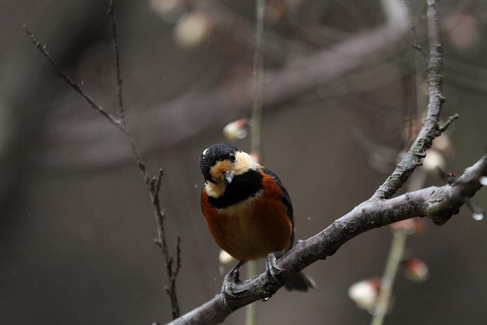 赤塚山の梅っつーか鳥12
