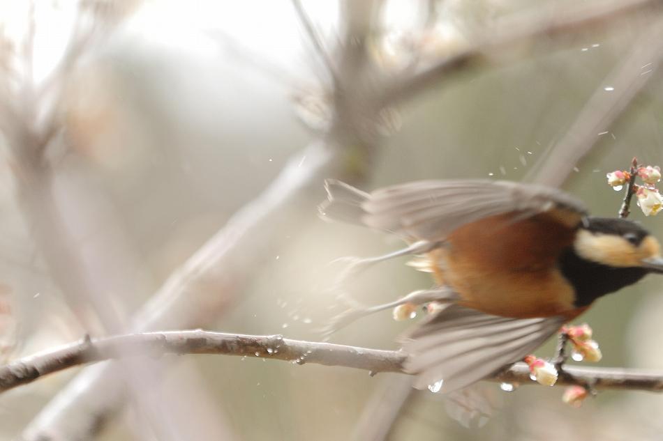赤塚山の梅っつーか鳥10
