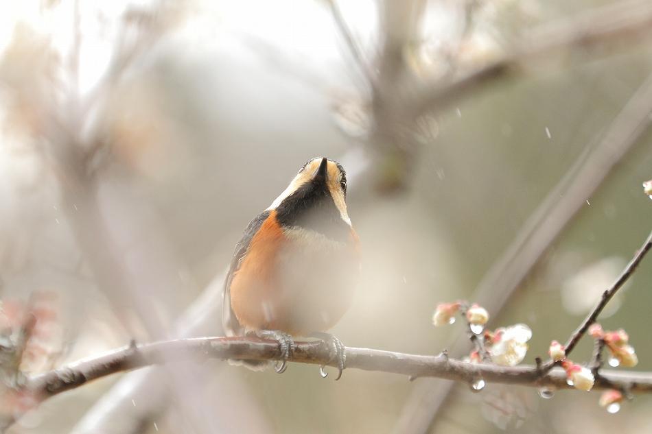 赤塚山の梅っつーか鳥08