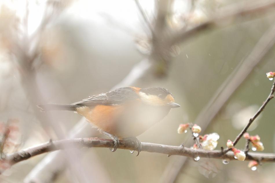 赤塚山の梅っつーか鳥09
