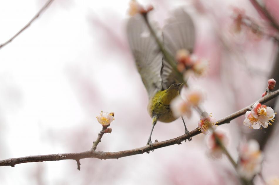 赤塚山の梅っつーか鳥07