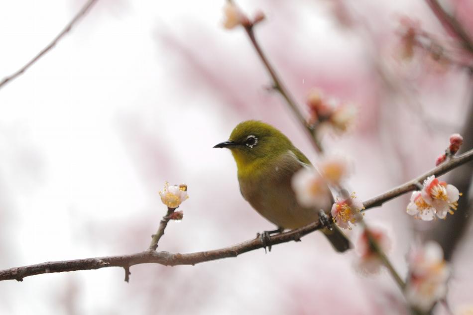 赤塚山の梅っつーか鳥06