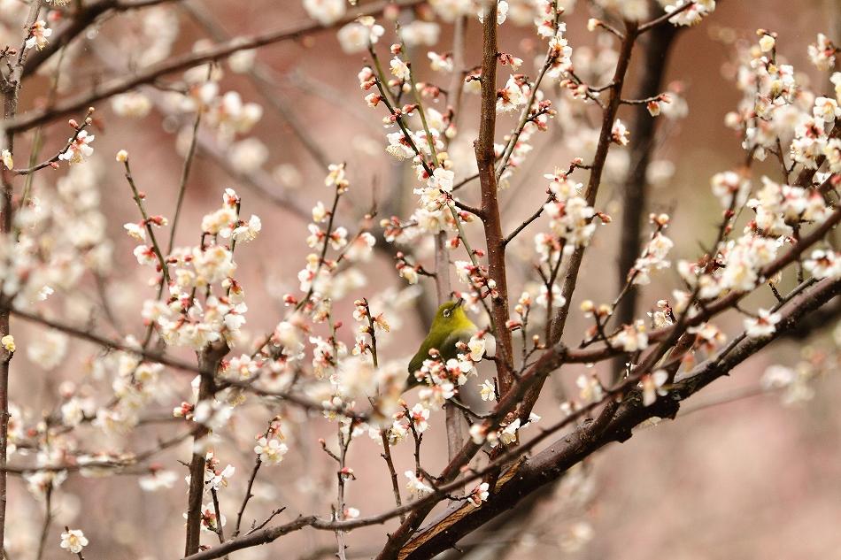 赤塚山の梅っつーか鳥35