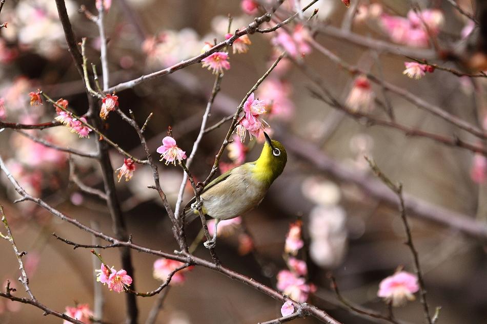 赤塚山の梅っつーか鳥34
