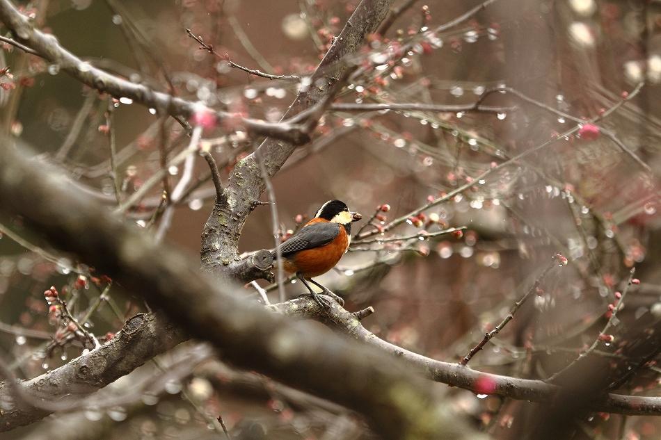 赤塚山の梅っつーか鳥33