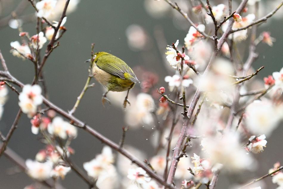 赤塚山の梅っつーか鳥32