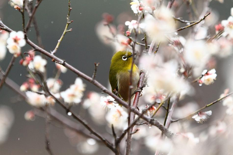 赤塚山の梅っつーか鳥30