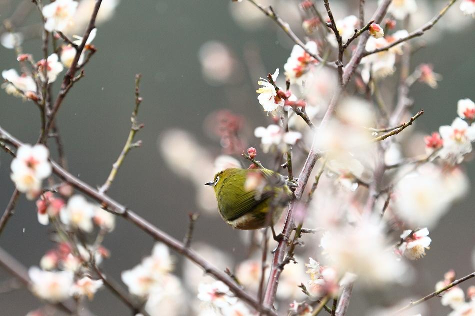 赤塚山の梅っつーか鳥31