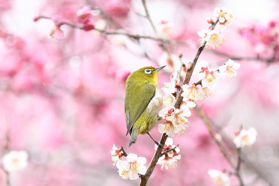 赤塚山の梅っつーか鳥28