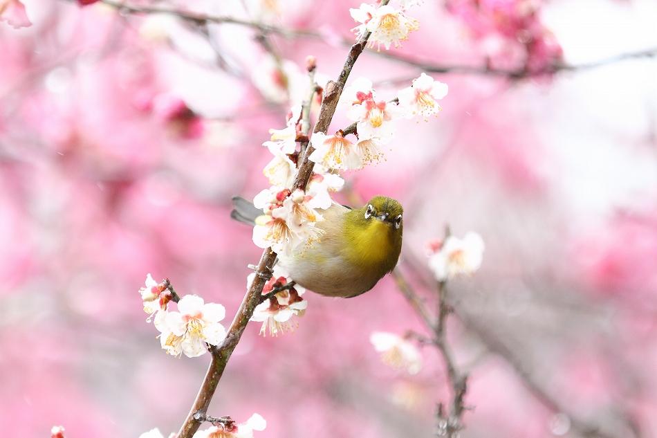 赤塚山の梅っつーか鳥27
