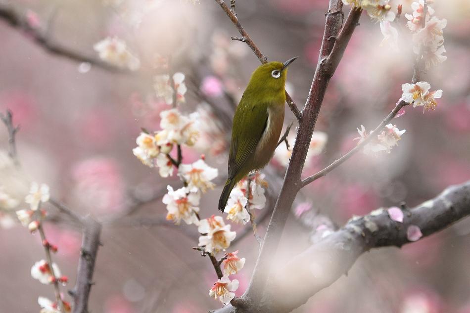 赤塚山の梅っつーか鳥26