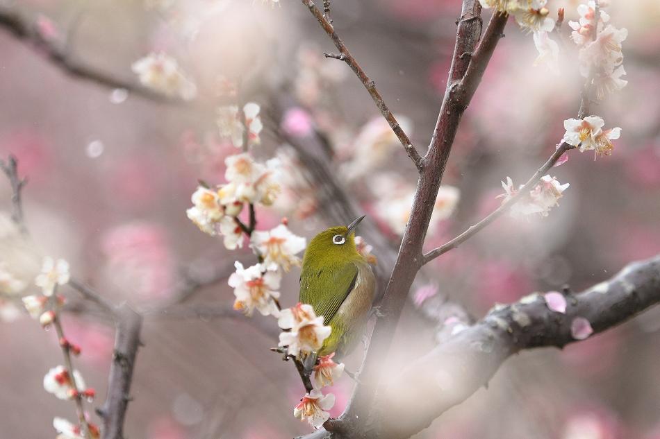 赤塚山の梅っつーか鳥25