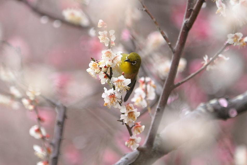 赤塚山の梅っつーか鳥24